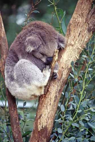 sleeping koala-AsiaPhotoStock