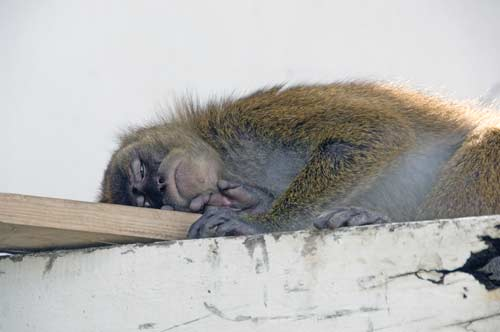 sleeping monkey-AsiaPhotoStock