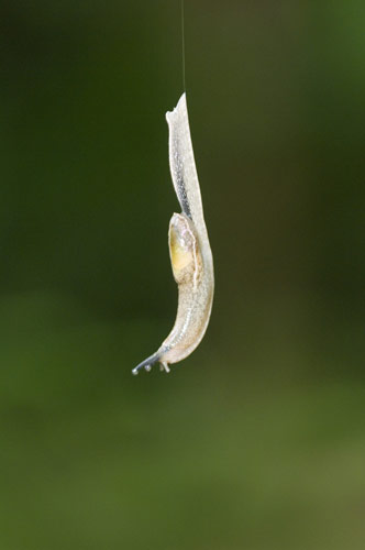 dancing slug-AsiaPhotoStock