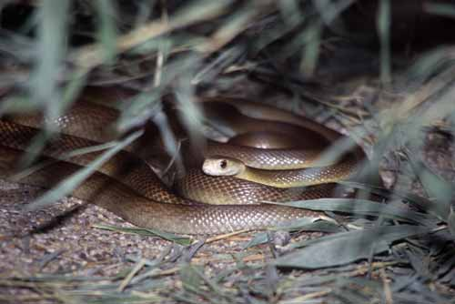 brown snake-AsiaPhotoStock