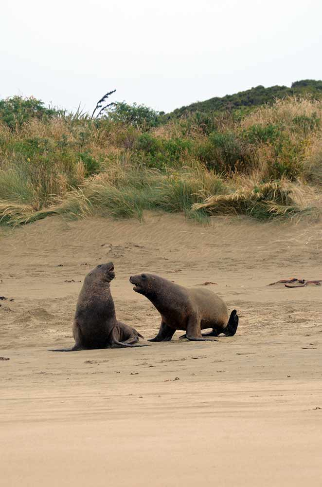 sparring sea lions-AsiaPhotoStock