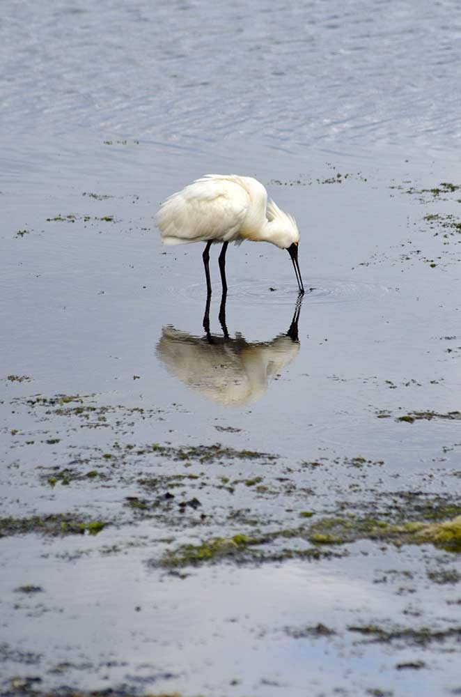 spoonbill reflect-AsiaPhotoStock