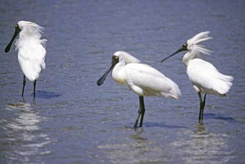 royal spoonbills nz-AsiaPhotoStock