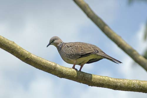 spotted dove-AsiaPhotoStock