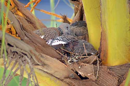 spotted dove and chick-AsiaPhotoStock
