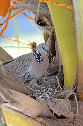 dove in nest-AsiaPhotoStock