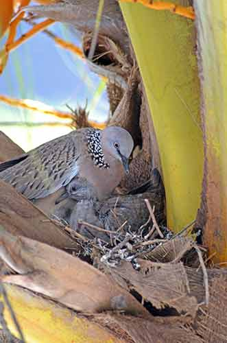 dove and parent-AsiaPhotoStock