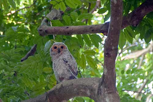 spotted owl-AsiaPhotoStock