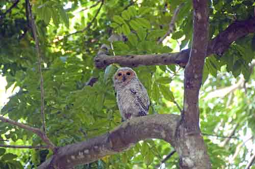 spotted wood owl-AsiaPhotoStock