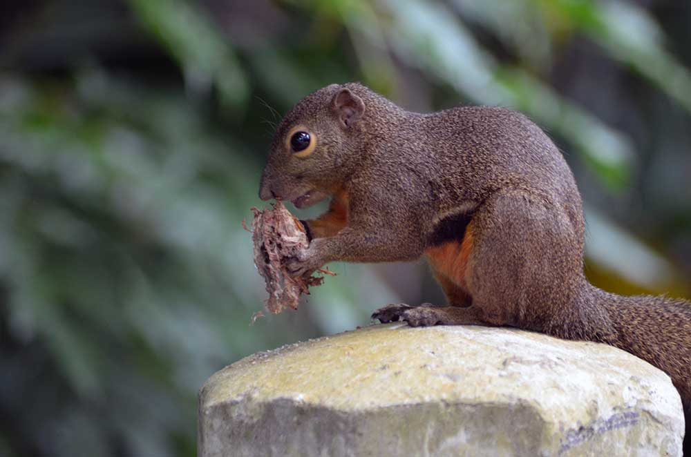 squirrel pasir ris-AsiaPhotoStock