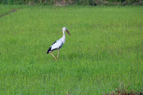 open bill stork-AsiaPhotoStock