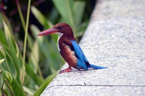 stork billed kingfisher-AsiaPhotoStock