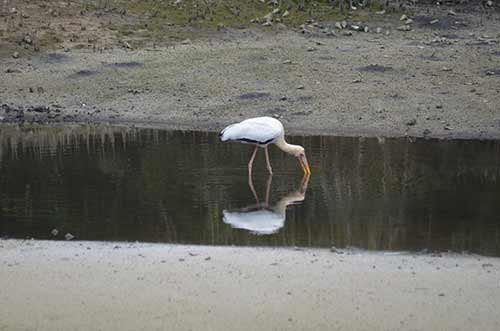 stork reflected-AsiaPhotoStock