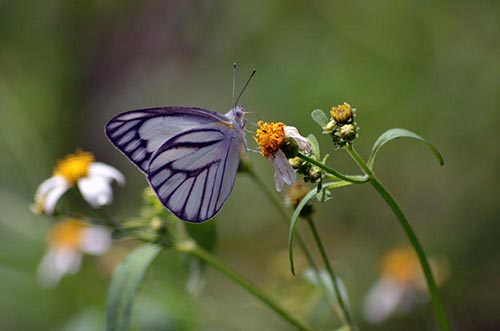 striped albatross butterfly-asia photo stock