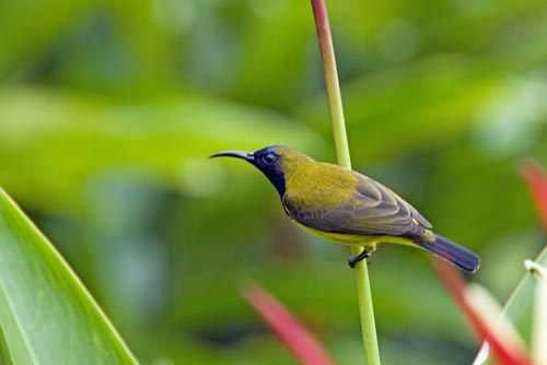 olive backed sunbird-AsiaPhotoStock