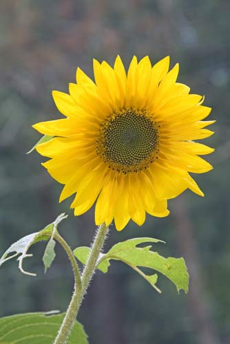 large sunflower-AsiaPhotoStock