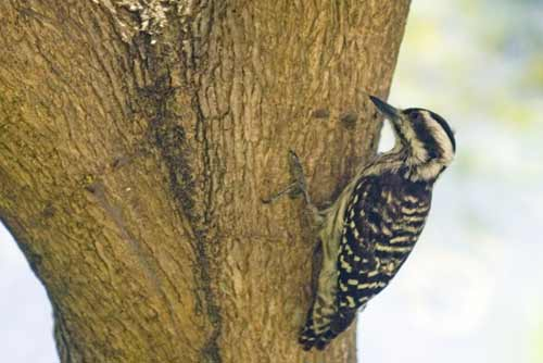 sundra woodpecker-AsiaPhotoStock