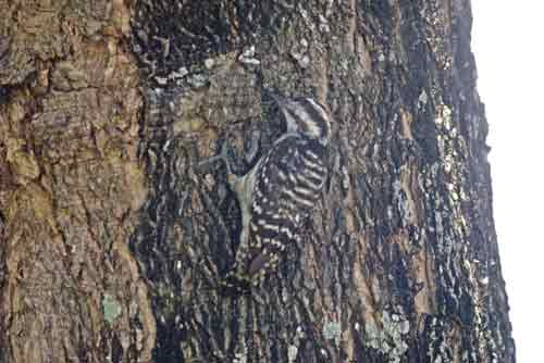 sundra woodpeckers-AsiaPhotoStock