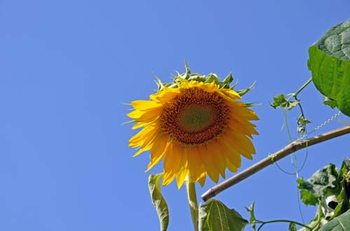 big sunflower-AsiaPhotoStock