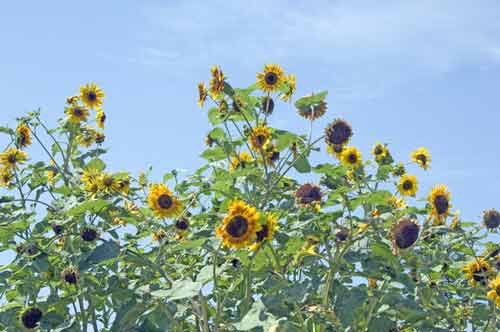 sunflowers-AsiaPhotoStock