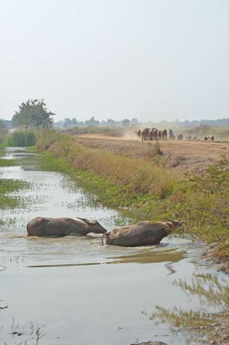 swimming buffaloes-AsiaPhotoStock