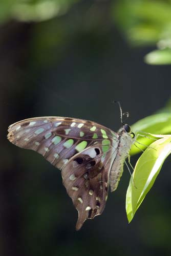 tailed jay-AsiaPhotoStock