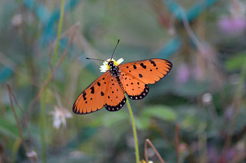 tawny coster butterfly-AsiaPhotoStock