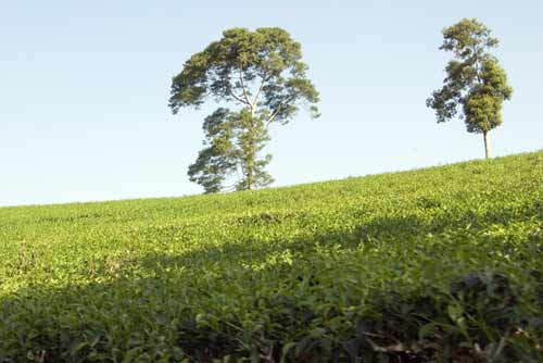 tea growing-AsiaPhotoStock