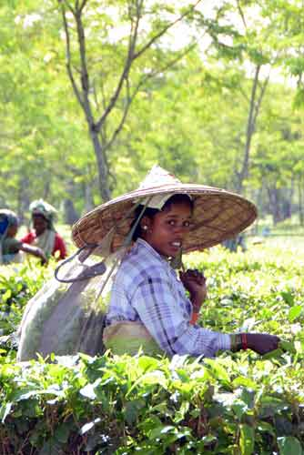 tea farmer-AsiaPhotoStock