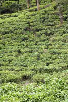 tea plants-AsiaPhotoStock