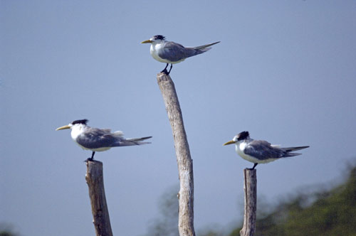 three terns on posts-AsiaPhotoStock