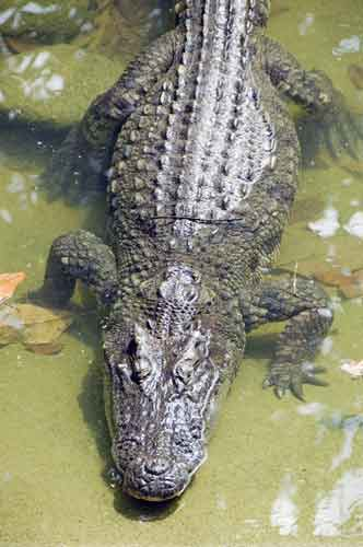 thai crocodile-AsiaPhotoStock
