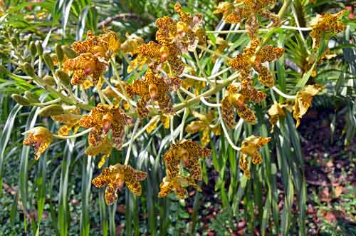 tiger orchid in bloom-AsiaPhotoStock
