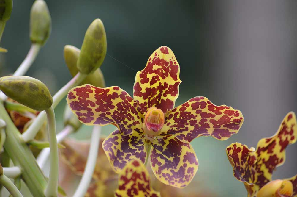 tiger orchid-AsiaPhotoStock