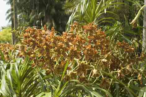 tiger orchid plant-AsiaPhotoStock