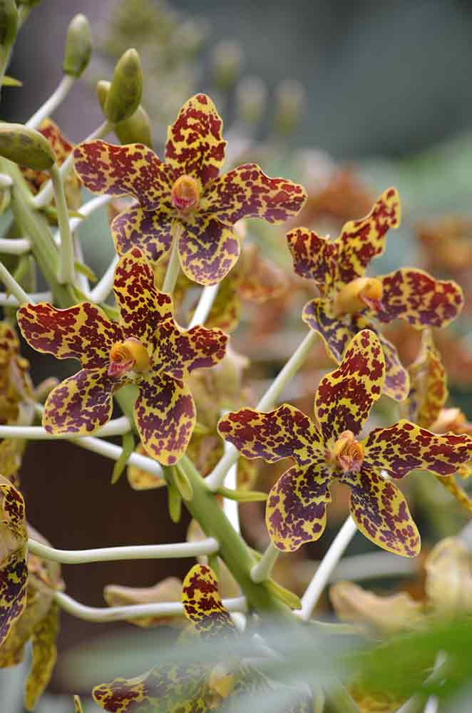 tiger orchid singapore-AsiaPhotoStock