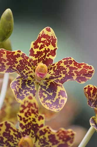 tiger orchids-AsiaPhotoStock