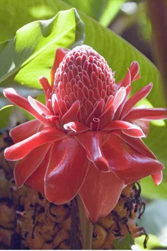 torch ginger-AsiaPhotoStock