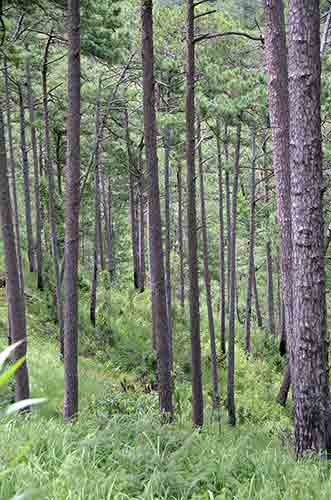 trees near dalat-AsiaPhotoStock