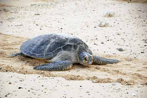 large green turtle-AsiaPhotoStock