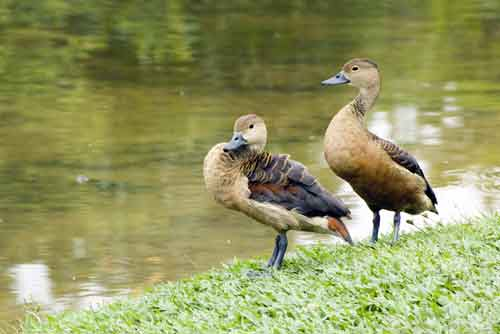 two whistler ducks-AsiaPhotoStock
