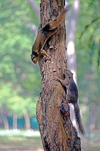 two squirrels-AsiaPhotoStock