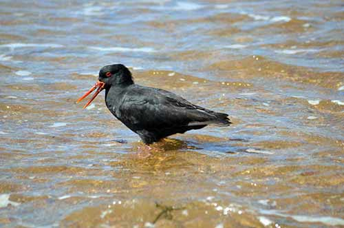 varied oyster catcher-AsiaPhotoStock
