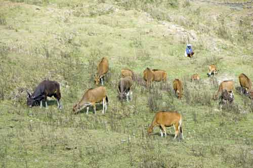 watching cattle-AsiaPhotoStock