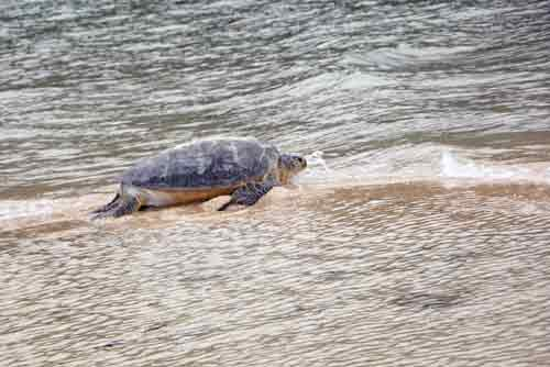 green turtle back to sea-AsiaPhotoStock