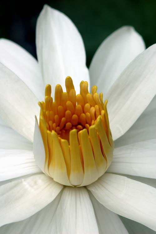 water lily-AsiaPhotoStock