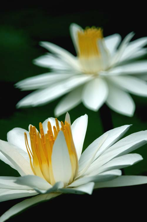 white water lily-AsiaPhotoStock