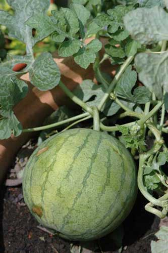 water melon growing-AsiaPhotoStock