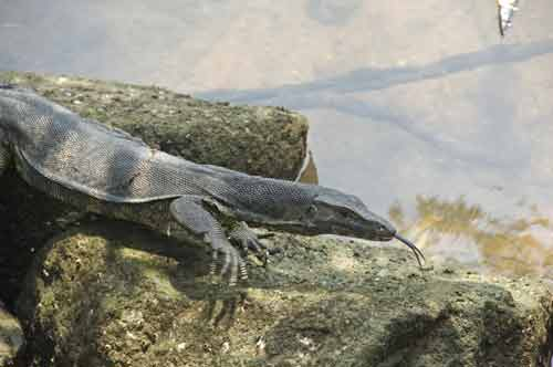 water monitor-AsiaPhotoStock