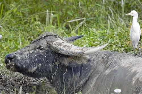 water buffalo-AsiaPhotoStock